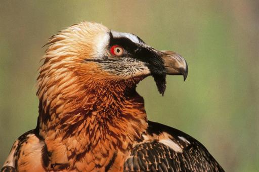 Der Bartgeier ist der größte Vogel der Alpen, der nun auch wieder frei fliegen wird.