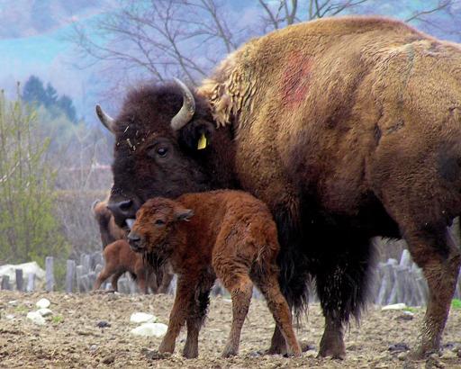 Zwei Bisonbabys erblickten heute das Tierweltlicht in Herberstein - in den nächsten Tagen werden weitere 6 kleine Bisons erwartet!