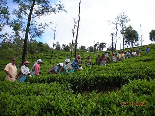 """""""Indische ArbeiterInnen bei der Ernte in Kerala/Südindien"""""""