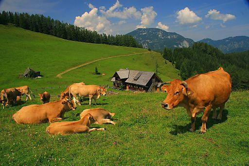 Blahbergalm im Nationalpark Kalkalpen mit Murbodner Rindern