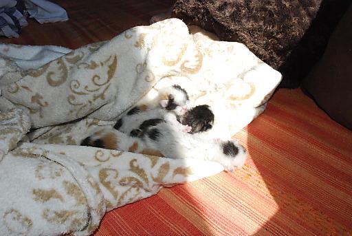 Die vier Tage alten Kätzchen haben die Augen noch geschlossen.