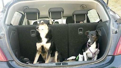 Ungesicherte Hunde im Auto