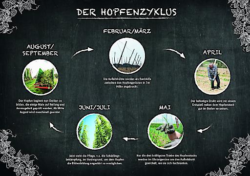 Bild zu OTS - Die Hopfenpflanze im Jahresverlauf