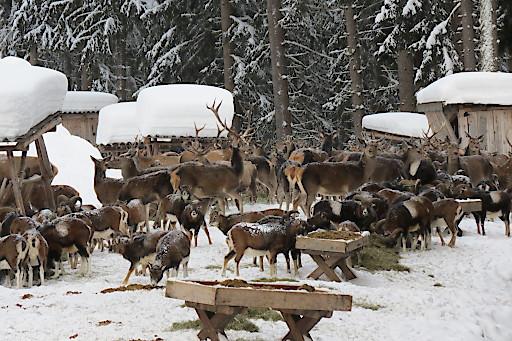 Wildtierschaufütterung in Zell am See-Kaprun.