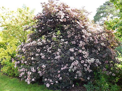 Die Sorte Black Beauty ist eine Holundersorte mit rosa Blüten und dunkelroten Blättern.