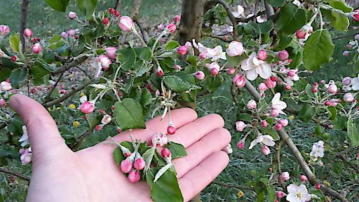 durch Frost abgefallene Apfelblüten/Bezirk Weiz