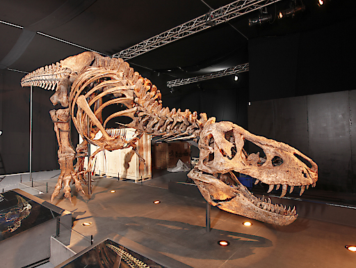 Original T. rex Skelett in Salzburg