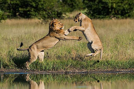 """""""Savage Kingdom"""" - der Kampf um den tierischen Thron geht bei Nat Geo Wild im Dezember in die zweite Runde / """"Savage Kingdom"""" ab 2. Dezember um 21.00 Uhr auf Nat Geo Wild / Weiterer Text über ots und www.presseportal.de/nr/107839 / Die Verwendung dieses Bildes ist für redaktionelle Zwecke honorarfrei. Veröffentlichung bitte unter Quellenangabe: """"obs/Nat Geo Wild/© Natural History Film Unit"""""""