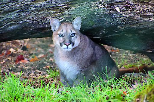 Puma Weibchen Nilam ist in die Tierwelt Herberstein übersiedelt