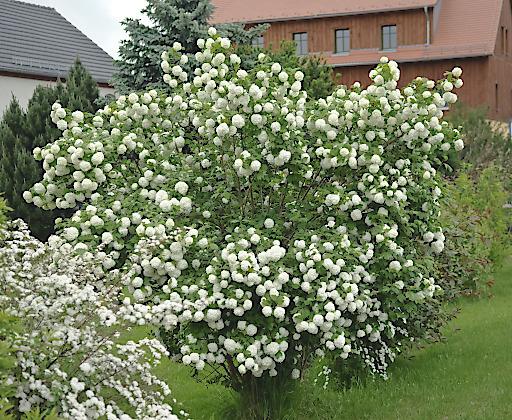 Der Echte Schneeball ist mit seinen weißen Blütenbällen ein Highlight im Garten