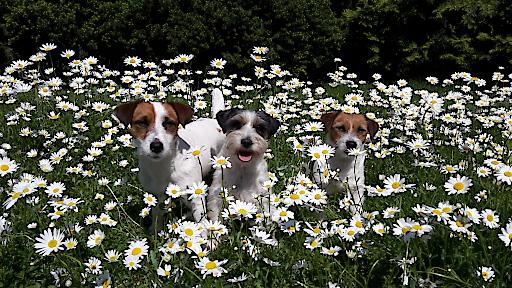 Jack Russell Terrier in Sommmerlaune