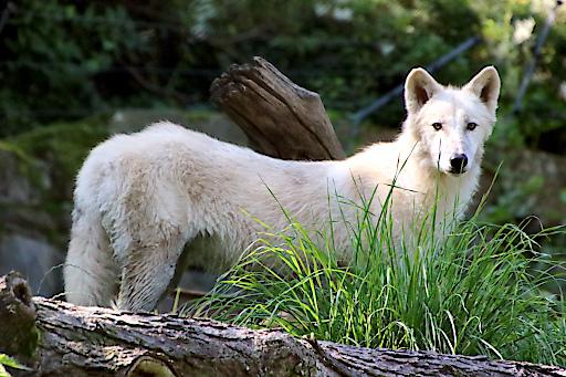 Polarwölfin Bjelle erkundet das Gehege