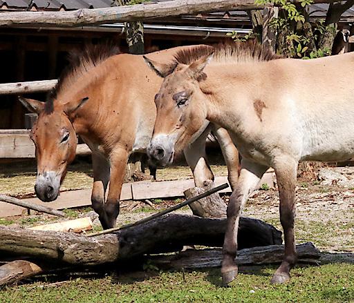 Przewalski Pferde Ronja & Quintessa