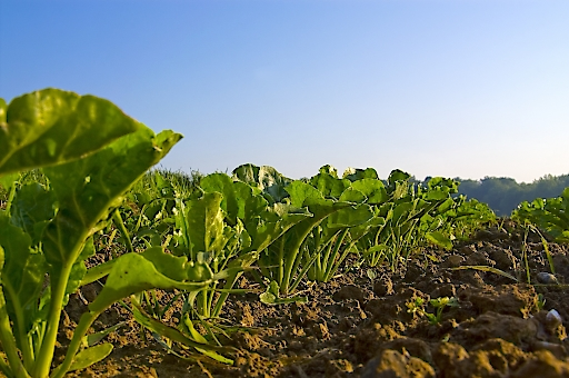 AGRANA - Zuckerrübenfeld vor der Ernte