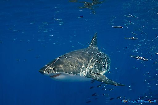 Weißer Hai im Fokus im NHM Wien