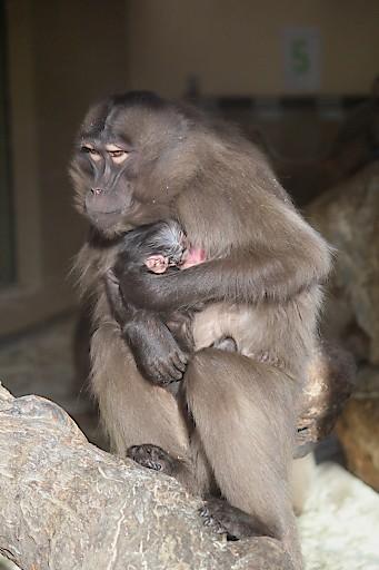 Das Dschelada Neugeborene mit Mama
