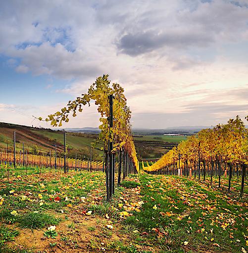 Weingarten nach der Ernte, © ÖWM/Marcus Wiesner