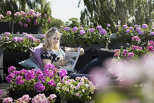 Pelargonien, die Klassiker unter den Balkonblumen vertragen Hitze besonders gut