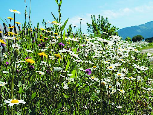 Rund 1.211.000 m² Bienenwiesen und Blühstreifen an Ackerflächen legte der Maschinenring mit seinen Partnern an – das sind 171,7 Fußballfelder.