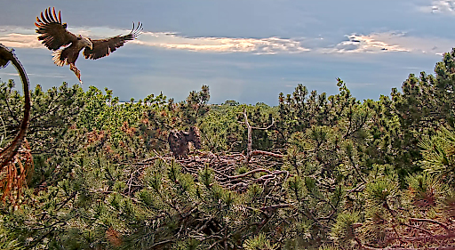Seeadler-Bruterfolg im Burgenland