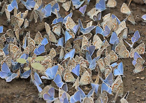 Die Vision 2030: wieder viele Schmetterlinge als Symbol für ein gesundes Ökosystem und Artenvielfalt, Lycaenidae