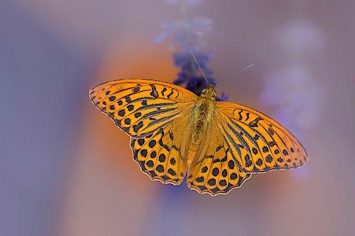 Aufruf zur Schmetterlingszählung in Österreichs Gärten - Häufigste Schmetterling im Garten 2018- Kaisermantel