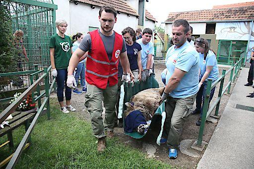 Bär Bruno wird von VIER PFOTEN nach dem VetCheck zum Transportwagen gebracht