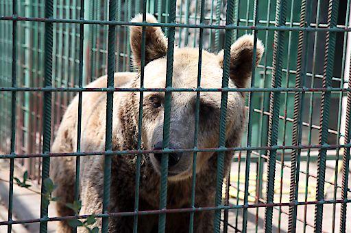 Bär Bruno in seinem früheren Käfig, aus dem er nun gerettet wurde