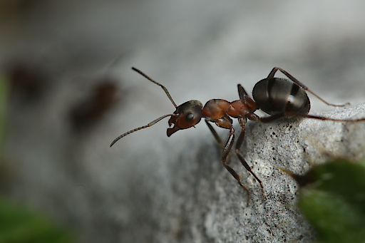 """Waldameise mit ihren sensiblen Fühlern im Close-Up – Ameisen spielen die Hauptrolle in der Dokumentation """"Die Superkolonie – Waldameisen ganz groß""""."""