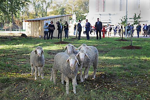 Schafe auf der Betriebsgelände