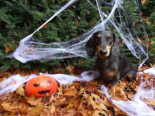 So gemütlich wie auf dem Foto ist es für Heimtiere zu Halloween nicht immer.