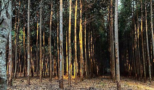 """Eucalyptus Forest in Paraguay / TreeCoin startet Token Offering, um 10 Millionen Bäume zu pflanzen / Weiterer Text über ots und www.presseportal.de/nr/137758 / Die Verwendung dieses Bildes ist für redaktionelle Zwecke honorarfrei. Veröffentlichung bitte unter Quellenangabe: """"obs/TreeCoin"""""""