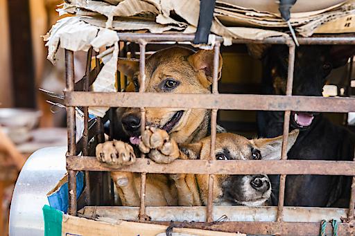 Die Hunde werden in enge Käfige gepfercht