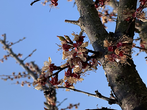 Spätfrost hat schwere Schäden im Obstbau verursacht