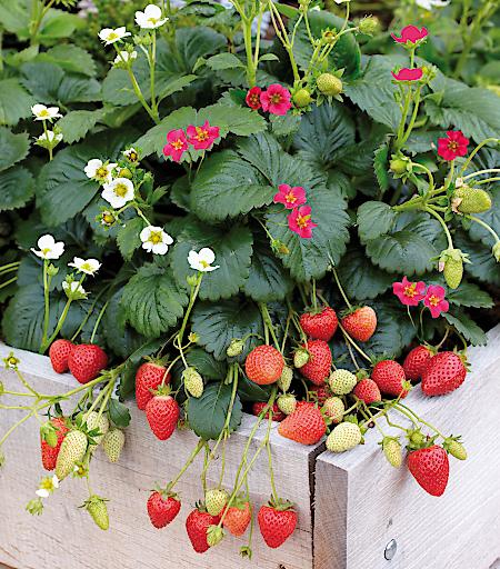 Weiße und pinke Blüten mit süßen Früchten - die Gartenpflanze des Jahres überzeugt optisch und geschmacklich