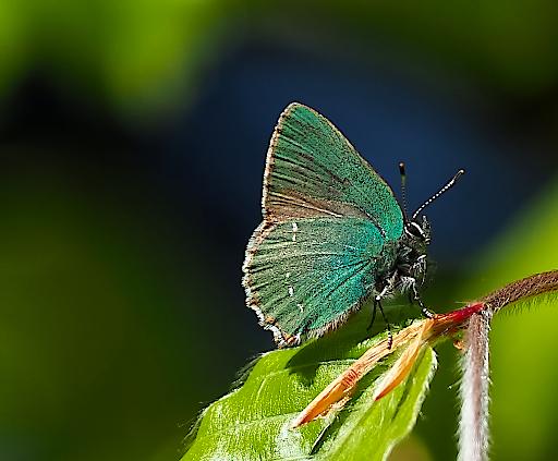 Most liked Schmetterlingsfoto in der App, Grüner Zipfelfalter