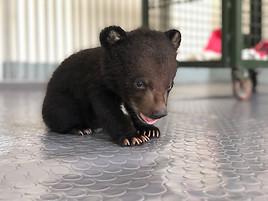 Bärenjunges von kriminellen Wildtierhändlern zum Verkauf angeboten: gerettet!