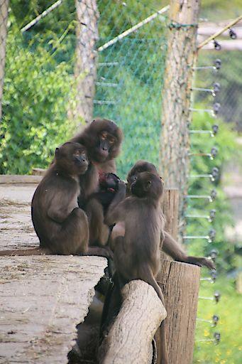Familie Dschelada mit Neugeborenen im Außengehege
