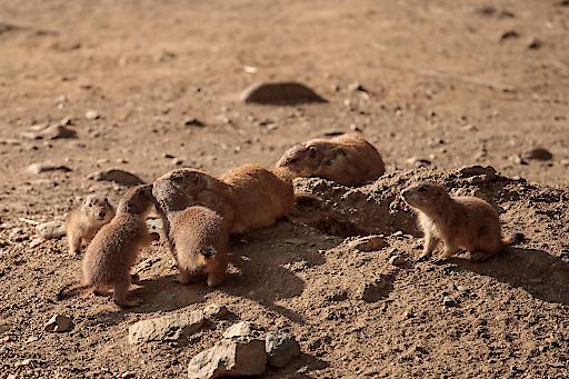 Die Präriehundbabys wuseln durch den Tierpark