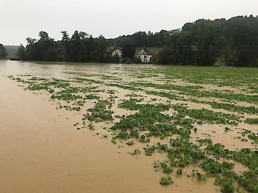 überschwemmter Soja in Walkersdorf