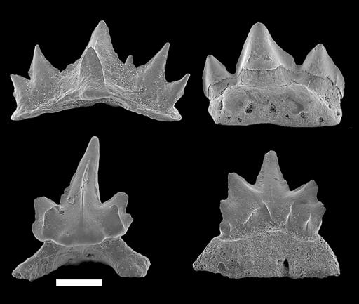 138 Millionen Jahre alte Zähne der neuen österreichischen Haifischarten Cretacladoides ogiveformis, Natarapax trivortex, Similiteroscyllium iniquus und Altusmirus triquetrus, Maßstab 100 µm