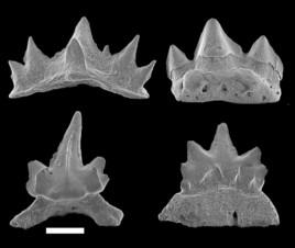 138 Millionen Jahre alte Tiefsee-Haie in Oberösterreich lokalisiert
