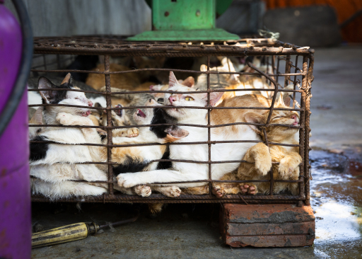 Die Katzen werden brutal eingefangen und in Käfige gepfercht, bevor sie getötet werden.