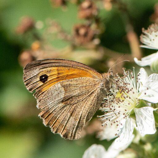 Häufigster Schmetterling in Österreichs Gärten 2020: Großes Ochsenauge
