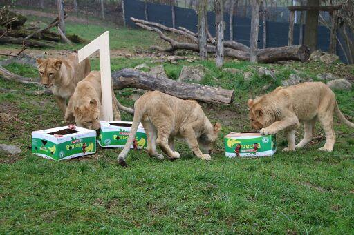"""Die Löwendrillinge mit Mama Amira beim """"Geschenke auspacken"""""""