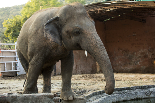 Der Elefant Kaavan im Zoo Marghazar in Islamabad, Pakistan