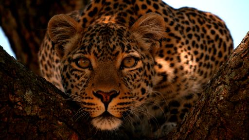 """Ob Löwe, Tiger, Gepard oder Jaguar - sie alle werden bewundert und gehören dennoch zu den bedrohtesten Arten der Tierwelt. Mit dem """"Big Cat Februar"""" rückt National Geographic WILD die majestätischen Herrscher der Wildnis mit einem vielseitigen Programm und fünf deutschen TV-Premieren in den Fokus. (© Wildlife Films) / Weiterer Text über ots und www.presseportal.de/nr/107839 / Die Verwendung dieses Bildes ist für redaktionelle Zwecke honorarfrei. Veröffentlichung bitte unter Quellenangabe: """"obs/Nat Geo Wild"""""""