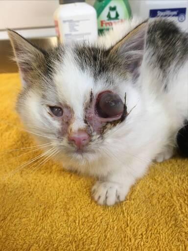 Schwer krankes Kätzchen wurde mit herausgeeitertem Augapfel gefunden