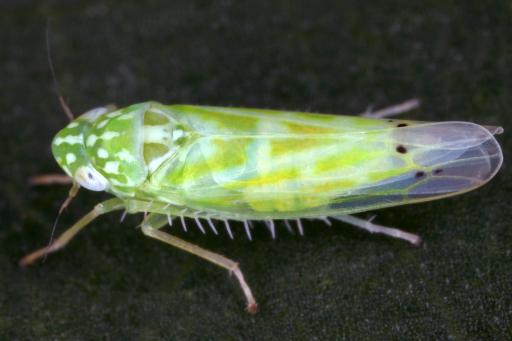 Königskerzen-Blattzikade, eine seltene und gefährdete Art