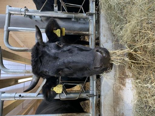 Wagyu-Rind vom Blaikenof im Stall beim Heu fressen